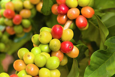 Yellow Photograph - Coffee Cherries by Dustypixel