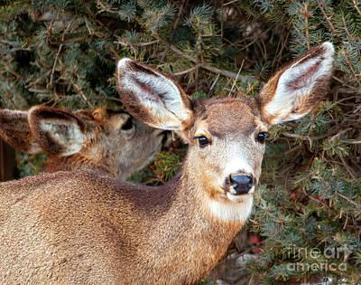 Photograph - Colorado High Country Deer by Steve Krull