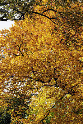 Photograph - Fall Trees And Leaves by Robert Ullmann
