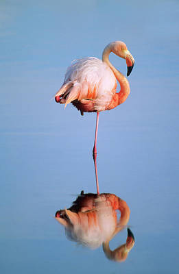 Greater Flamingo Phoenicopterus Ruber Art Print by Wayne Lynch
