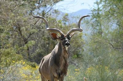 Photograph - Greater Kudu 6 by Fraida Gutovich