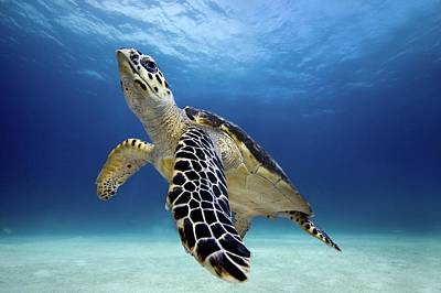 Photograph - Hawksbill Turtle by James R.d. Scott