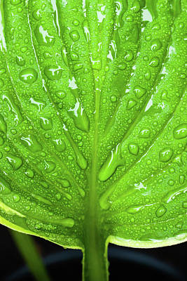 Royalty-Free and Rights-Managed Images - Hosta Leaf Closeup by Erin Cadigan