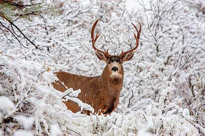 Photograph - Huge Buck Mule Deer In Snow by Steve Krull