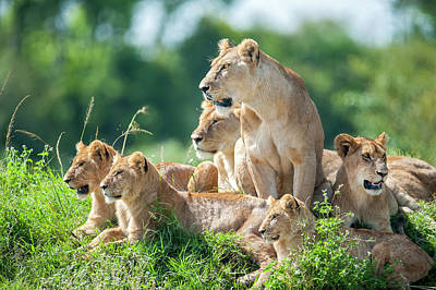 Lioness With Cubs In The Green Plains Art Print by Guenterguni