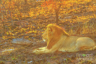 Photograph - Male Lion Resting by Benny Marty