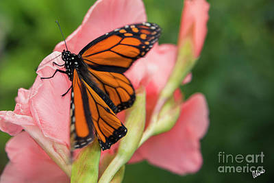 Science Collection Rights Managed Images - Monarch Butterfly Royalty-Free Image by Alana Ranney