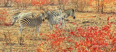Photograph - Panorama Of Zebras by Benny Marty