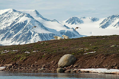 Flying Photograph - Polar Bear Ursus Maritimus Sow And Cub by Danita Delimont