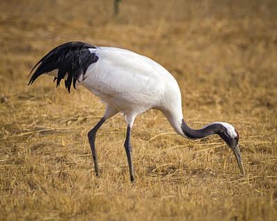 Photograph - Red Crowned Crane Feeding Zhangye Wetland Park Gansu China by Adam Rainoff