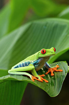 Photograph - Red Eyed Tree Frog, Costa Rica by Paul Souders