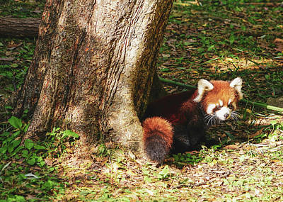 Photograph - Red Panda by Cathy Donohoue