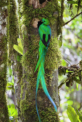 Rear View Photograph - Resplendent Quetzal Pharomachrus by Konrad Wothe/ Minden Pictures