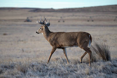 Photograph - Rocky Mountain Deer by Philip Rodgers
