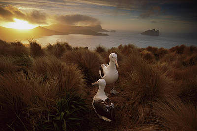 Photograph - Royal Albatross Diomedea Epomophora by Tui De Roy/ Minden Pictures