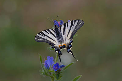 Photograph - Scarce Swallowtail by David Hosking