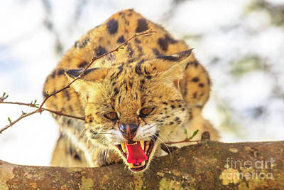 Photograph - Serval On A Tree by Benny Marty