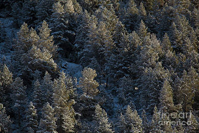 Sean Rights Managed Images - Snowed trees in Aragnouet, Hautes-Pyrenees, Occitanie, France Royalty-Free Image by Francisco Javier Gil Oreja