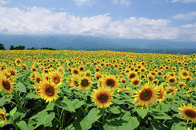 Photograph - Sunflower Field by Takeshi.k