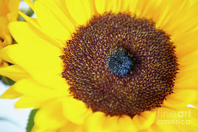 Photograph - Sunflower by Jenny Potter