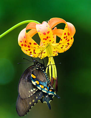 Photograph - Swallowtail On Turks Cap by Donald Brown