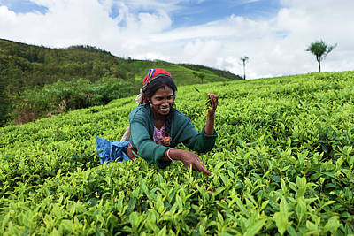 Indian Culture Photograph - Tamil Tea Pickers Collecting Leaves by Hadynyah