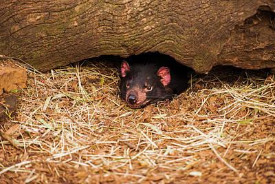 Photograph - Tasmanian Devil In Hobart, Tasmania. by Rob D