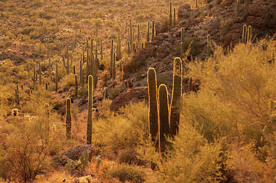 Dry Brush Wall Art - Photograph - Usa, Arizona, Tucson Mountain Park by Peter Hawkins