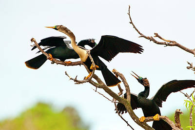 Anhinga Wall Art - Photograph - Usa, Florida, Venice by Bernard Friel