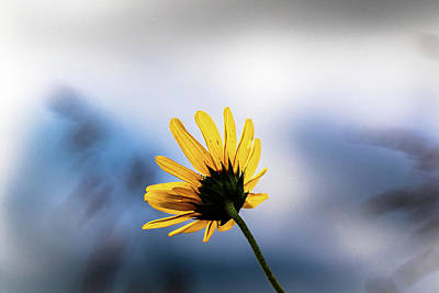 Photograph - Wild Sunflower by Jay Stockhaus