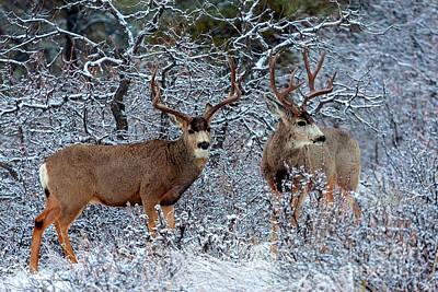 Photograph - Winter Bucks by Steve Krull