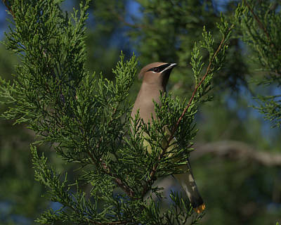 Photograph - 20181210 Cedar Waxwing by Philip A Swiderski Jr