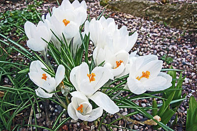 Photograph - 25/03/18  Ramsbottom Chocolate Festival. White Crocuses. by Lachlan Main
