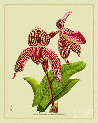 Thomas Kinkade Rights Managed Images - Orchid Flower Orchideae Plantae Botany Royalty-Free Image by Baptiste Posters