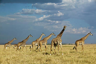 Photograph - Kenya, Masai Mara National Reserve by Denis-huot Michel / Hemis.fr