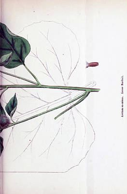 Stellar Interstellar - English botany by Artistic Panda