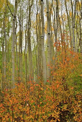 Photograph - Aspen Grove Along Last Dollar Road by Ray Mathis
