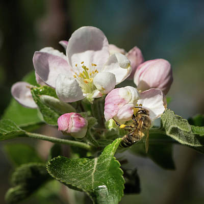 Olympic Sports - Closeup of a blossom of an apple tree by Stefan Rotter