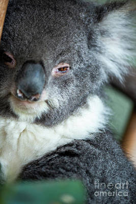 Photograph - Cute Australian Koala Resting During The Day. by Rob D