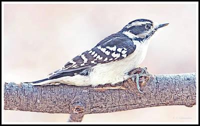 Photograph - Downy Woodpecker Female by A Gurmankin
