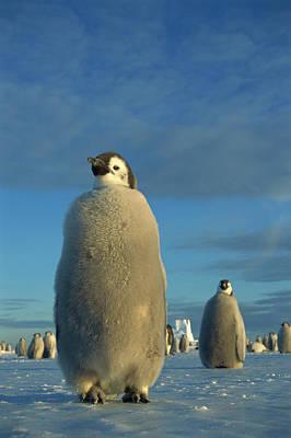 Austral Wall Art - Photograph - Emperor Penguin Aptenodytes Forsteri by Tui De Roy/ Minden Pictures