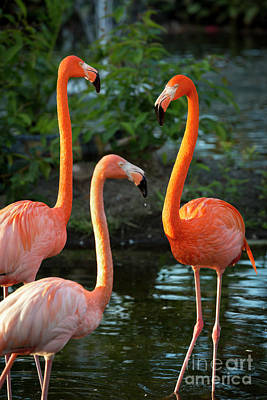 Photograph - 3 Flamingos by Brian Jannsen