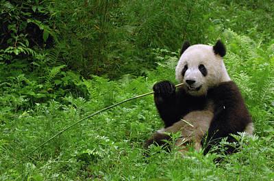 Photograph - Giant Panda Ailuropoda Melanoleuca by Pete Oxford/ Minden Pictures