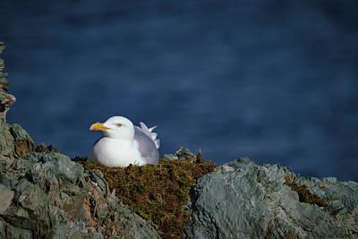 Photograph - Glaucous Burgomeister Gull by Kai Mueller