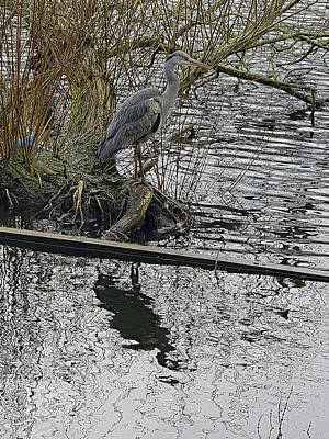 Photograph - Grey Heron by Tony Murtagh