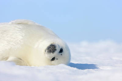 Harp Seal Pup On Ice Photograph By Keren Su
