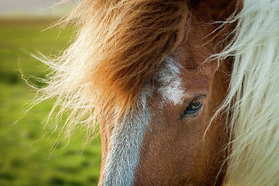 Photograph - Icelandic Horse by Peter OReilly