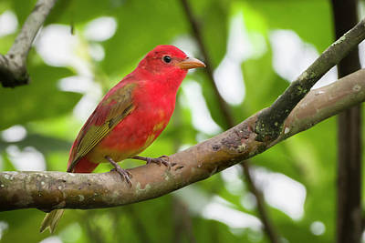 Photograph - Juvenile Summer Tanager Entreaguas Ibague Tolima Colombia by Adam Rainoff