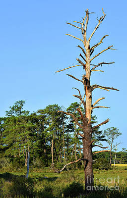 Photograph - Lonesome Pine by Skip Willits