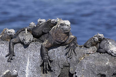 Photograph - Marine Iguanas by David Hosking